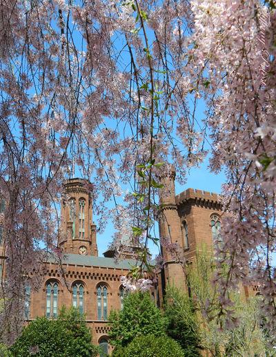 The Smithsonian Castle - 3014 Relaxing Cherry Blossoms Festival Springtime Museum Institute Capital Cities  Washington, D. C. Festival Seasons