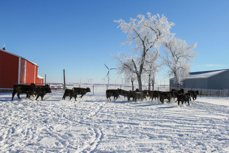 Agriculture Black Angus Cattle Yard Farm Frost Running Animal Black Blue Building Canon60d Canonphotography Cattle Day Domestic Animals Feeder Cattle Fence Group Of Animals Livestock Outdoors Sky Snow Stampede Tracks Winter