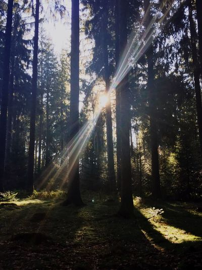 Tree Sunlight Nature Forest Sunbeam Beauty In Nature WoodLand Outdoors Tranquility No People