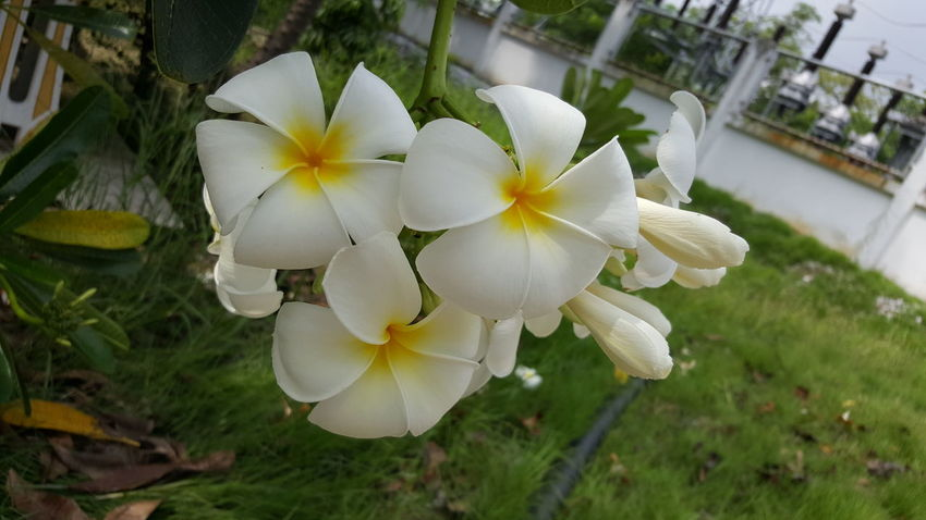 Beauty In Nature Blooming Close-up Day Flower Flower Head Fragility Frangipani Freshness Grass Growth High Angle View Nature No People Outdoors Periwinkle Petal Plant White Color