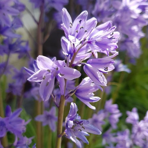 Bluebells Flower Head Flower Perfume Purple Scented Close-up Botany Plant Life