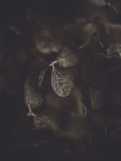 Dark and moody macro dead hydrangea skeleton Close-up No People Nature Selective Focus Plant Part Leaf Plant Dry Vulnerability  Fragility Day Beauty In Nature Growth Land Outdoors Field Pattern Flower Brown Dead Plant Leaves Dried Softness Wilted Plant