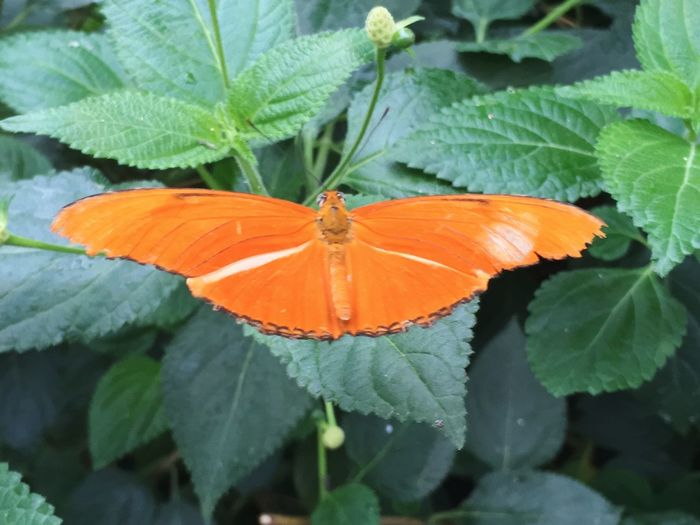 Dryas iulia/ Flam Plant Part Leaf Insect Beauty In Nature Plant Invertebrate Close-up Butterfly - Insect Orange Color