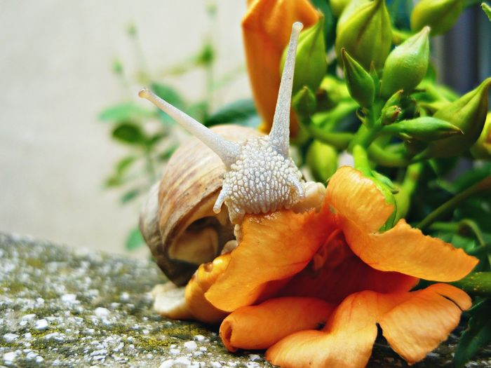 Do snails eat flowers ? Animal Antenna Animal Themes Background Close-up Eating Healthy Flower Focus On Foreground Fragility No People One Animal Orange Flower Outdoors Plant Snail Snails Soft Colors