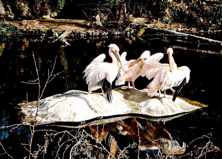 Frankfurt Zoo Frankfurt , Germany Birds Big Birds Big White Birds Isle Of Ice Lake Reflections Peace And Quiet Proud Elegance In Nature Motus Natura The Great Outdoors With Adobe