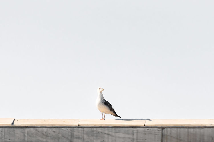 Bird perching on wall against clear sky