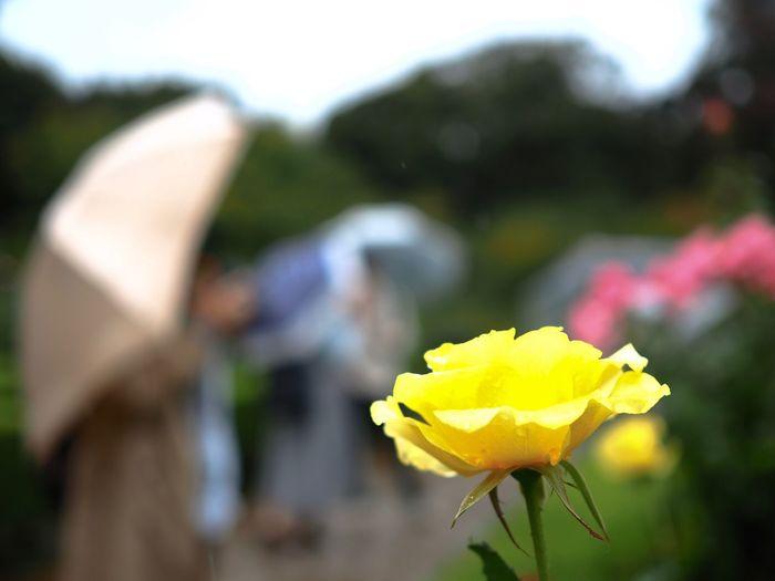 美女が沢山いたのですが、誠に残念ではありますがボカしてます。想像で補完してお楽しみ下さい。 Rosé Rose - Flower Flower Yellow Petal Fragility Flower Head Plant Freshness Close-up Rose Garden Outdoors Focus On Foreground Umbrellas Women Olympus OM-D E-M5 Mk.II