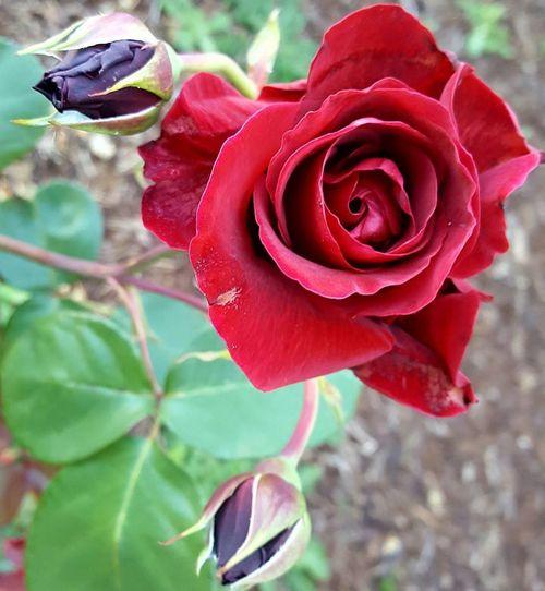 EyeEmNewHere Red Color Red Flower Red Rose Flower Porn Roses🌹 Rose Collection Roses Flowers  Rose - Flower Flowers Red Heart Heart Flower Roses Flowers  Flowers Of EyeEm