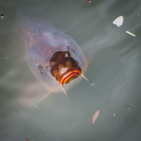 Current Mood ☹️ || Fish Carp Water Grumpy Mood