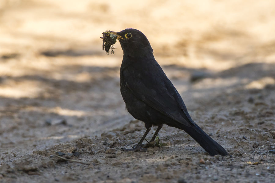 A blackbird takes a bath Bath Drinking A Latte Nature Songbird  Animal Themes Animal Wildlife Animals In The Wild Bird Blackbird Close-up Day Feathering Feathers Of A Bird Landscape Nature No People One Animal Outdoor Outdoors Plumage Singing Bird Turdus Merula Water Wildlife