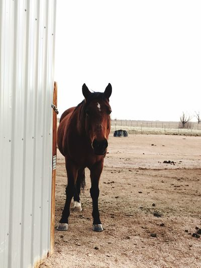 EyeEm Selects Domestic Animals Horse Animal Themes Mammal One Animal Day Outdoors No People Sky