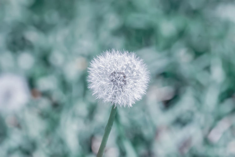 White dandelion on soft blue background, natural background, selective focus Flower Plant Flowering Plant Freshness Vulnerability  Close-up Dandelion Growth Beauty In Nature No People Nature Softness Outdoors Flower Head White Soft Seeds Green Fluffy Ball Wild Meadow