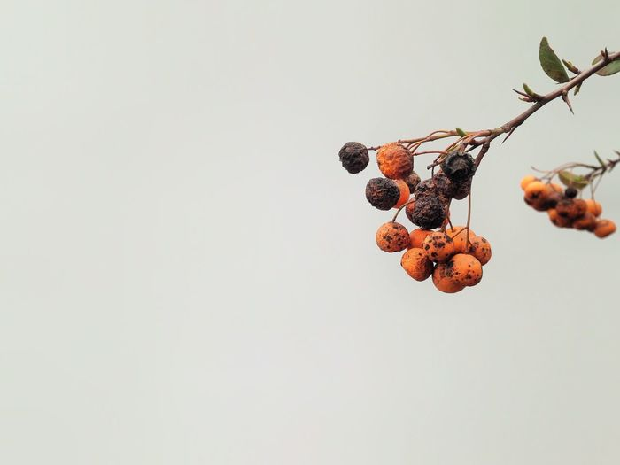 Today I was taking a walk around the block when I saw these dried sea buckthorn fruits. They reminded me af graceful aging...Even plants can do that... Ageing AgeingGracefully Aging Branch Close-up Day Dried Dried Fruit Dry Focus On Foreground Pivotal Ideas Fruit Nature's Diversities Colour Of Life Nature Nature On Your Doorstep Negative Space No People Outdoors Plant Sea Buckthorn Selective Focus Still Life Walking Around White Background EyeEm Selects