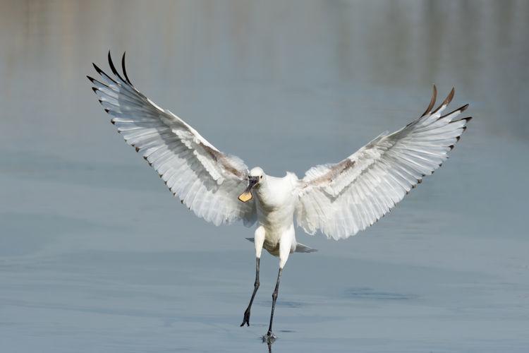 Eurasian spoonbill landing in shallow water