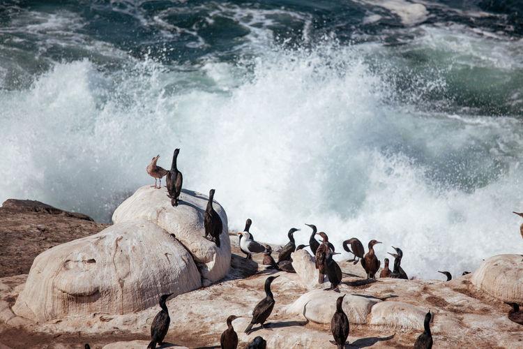 Flock of birds on rock in sea.  cormorants resting on cliff