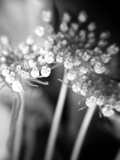 Queen Anne's Lace Fragility Softness My Favorite Flower My Flower Obsession Beauty In Nature Wild Flower Beauty Micro Photography Black And White Shootermag EyeEm Nature Lover EyeEm Masterclass Pouplar Photos Eyeem Collection Elegance In Nature EyeEm Gallery Shades Of Nature