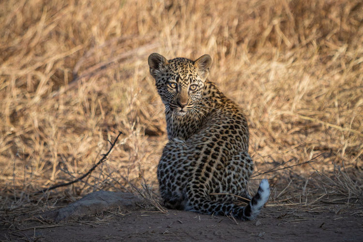 Leopard sitting on land