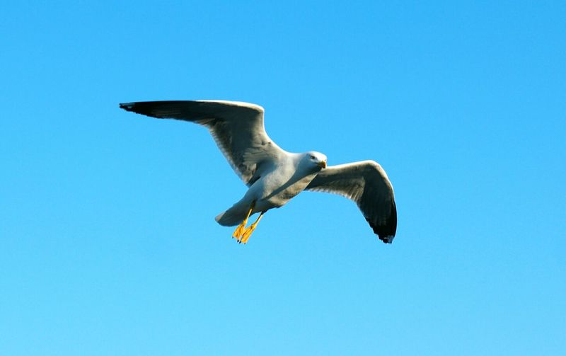 Gulls In Flight SEAGULL IN FLIGHT Birds In Flight Sky_collection Skyblue Sky And Birds Skycollection