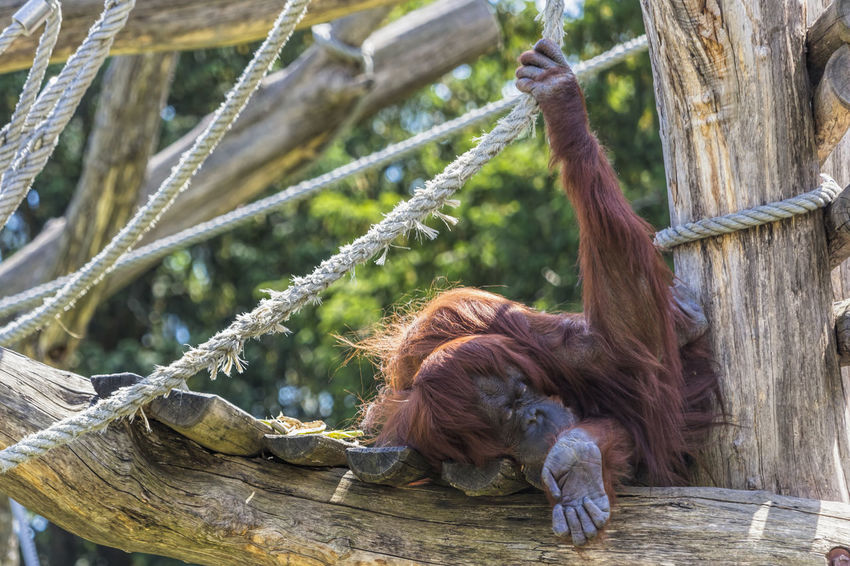 Orangutan Animal Animal Themes Animal Wildlife Animals Borneo Monkey Orang Utan Orangutan Orangutang Orangutanhavingafuntime Orangutanproject Orangutans Prima Primate Wildlife Wildlife & Nature Wildlife Photography Zoo Zoo Animals  Zoo Photography  ZOO-PHOTO Zooanimals Zoology Zoophotography