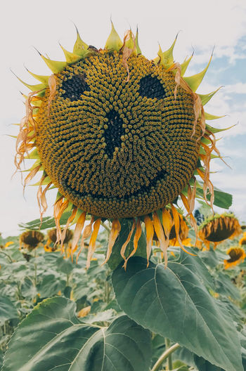 Happy sunflower Happiness Beauty In Nature Carved Close-up Day Flower Flower Head Flowering Plant Focus On Foreground Fragility Freshness Growth Inflorescence Nature Outdoors Petal Plant Plant Part Smile Smiling Sunflower Vulnerability  Yellow