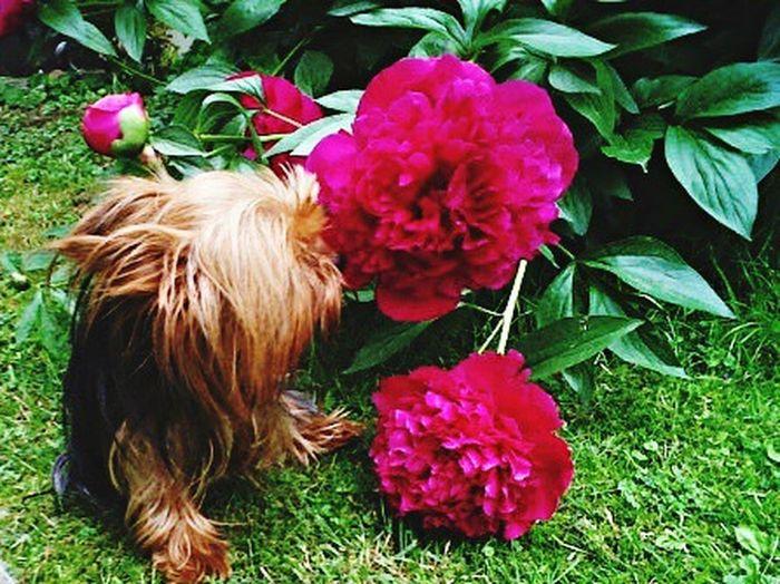 Yorkie, Flower, Little Things, Smell, Spring Flower