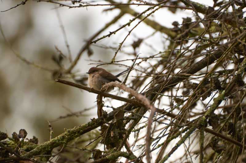 Animal Animal Themes Animals In The Wild Australian Birds Avian Bird Branch Cherry Blossom Cherry Tree Day Focus On Foreground Nature No People One Animal Perching Selective Focus Sparrow Tree Wildlife Zoology