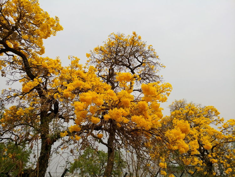 Winter Blooming Autumn Beauty In Nature Branch Change Day EyeEm Nature Lover EyeEm Yellow Growth Low Angle View Nature No Leaves No People Outdoors Scenics Sky Sony Xperia M5 Tranquility Tree Winter Xperian Photography Yellow