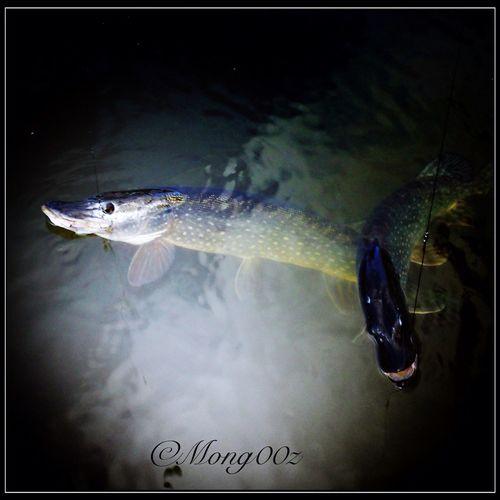 Nature Fish Urban Wildlife Northern Pike