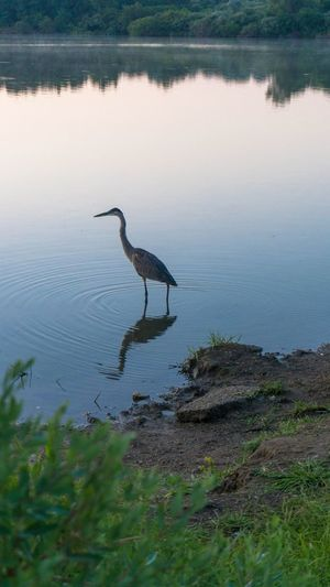 One Animal Animals In The Wild Animal Themes Animal Wildlife Heron Reflection Bird Water Lake Nature Day Gray Heron Outdoors No People Beauty In Nature