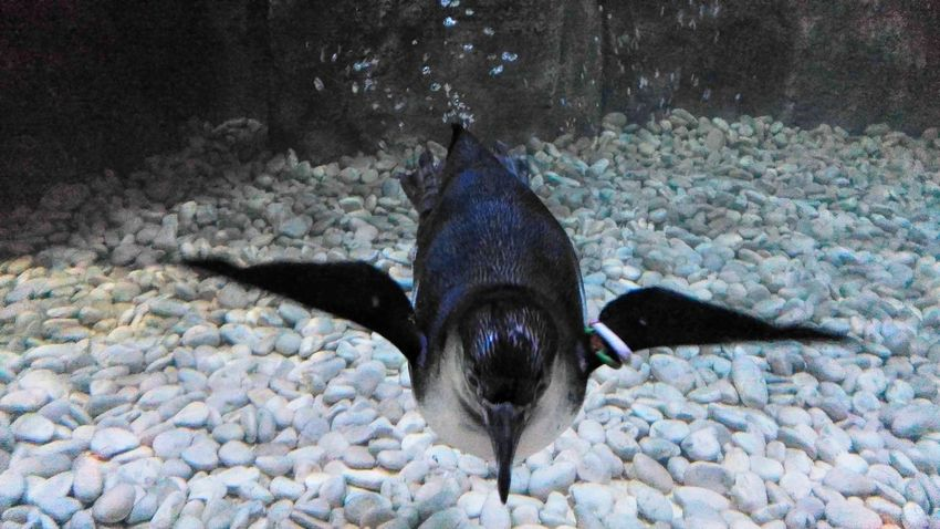 Humboldt Penguin Animal Themes Underwater No People Naturelovers Humblodt PenguinLove Penguinswim PenguinsPark Animal_collection Animallovers Animalphotography Humboldt Penguin