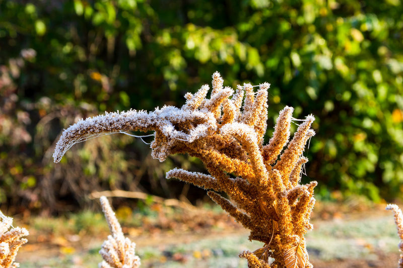 Ice crystals on amaranth seed stands