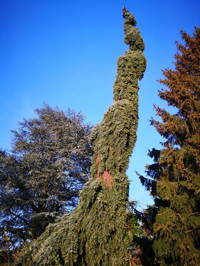 Picea omorica serbische Fichte Serbian spruce tree Picea Omorika Serbian Spruce Serbische Fichte Tree Blue Sky Plant Close-up Pinaceae Pine Tree Growing Saguaro Cactus Pine Wood Prickly Pear Cactus Coniferous Tree Pine Woodland Plant Life Needle - Plant Part Blooming Spruce Tree Succulent Plant Evergreen Tree Pine Cone Fir Tree