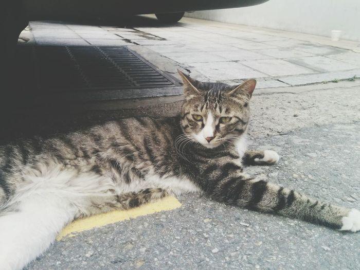 Cat Under The Car Street Cat
