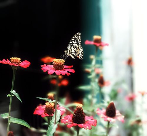 Flower Pink Color Beauty In Nature Nature Fragility No People Focus On Foreground Plant Butterfly - Insect Outdoors Close-up Day Multi Colored Freshness Flower Head IPhoneography IPhone7Plus Mobilephotography