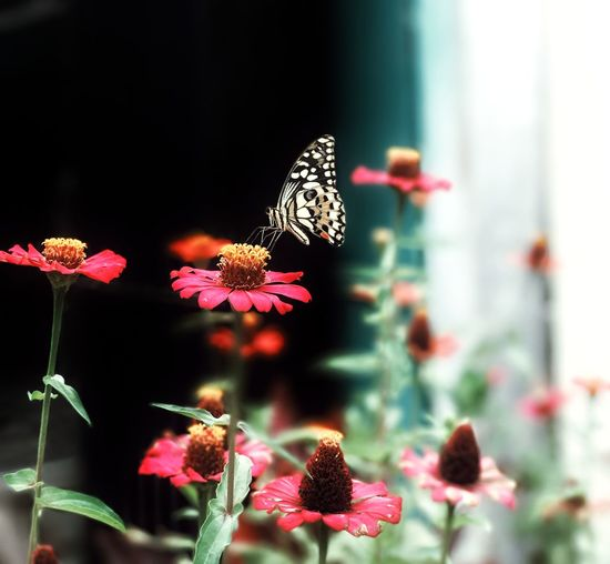 Close-up of butterfly perching on pink flowers