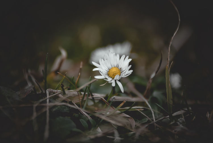 Chamomile Flowering Plant Flower Plant Freshness Fragility Growth Vulnerability  Beauty In Nature Petal Selective Focus Close-up Nature Land Flower Head White Color Inflorescence Field No People Daisy Day Outdoors Pollen Chamomile