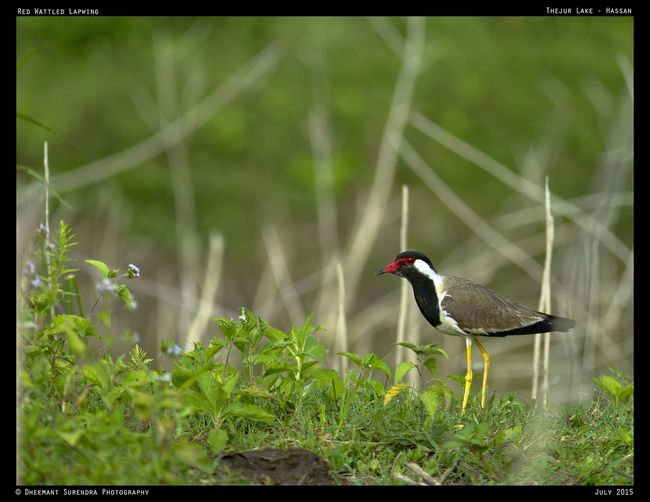 Red Wattled Lapwing, Karnataka India Check This Out Hello World First Eyeem Photo