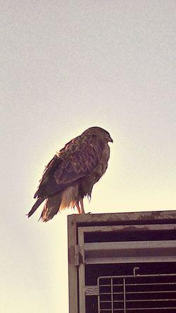 Falcon Animal Sivas Turkey