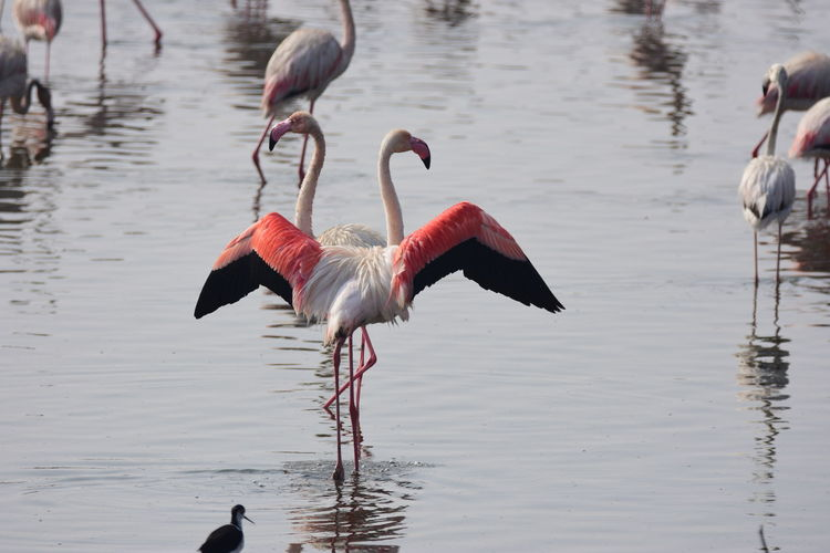 Flamingo Love Abu Dhabi Al Wathba Animal Themes Beauty In Nature Bird Day Flamingo Geese Goose Lake Lakes  Lakeshore Nature Nature No People Outdoors Pelican Reflection Rippled United Arab Emirates Water Water Bird Wildlife Zoology