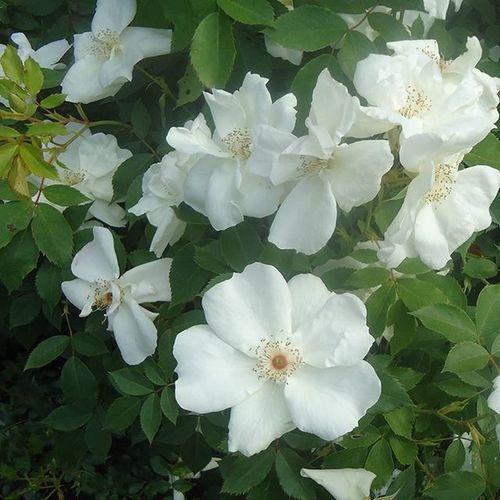 Flowers Kukkia Flores Fleurs White Valkoinen Blanco Blanc Ruusutarha Tampere Tamperelove Visittampere Tre Finland Suomi Fotofanatics_flowers_