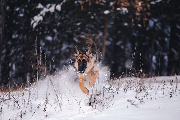 URAN GOLDEN TAL 💙 Animal Themes Snow Winter Looking At Camera Cold Temperature Pets Nature Portrait Forest Photographer Nature 💚German Shepherd Dog