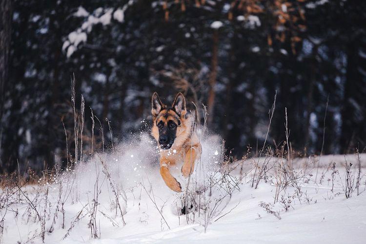 German Shepherd Running On Snow Covered Field