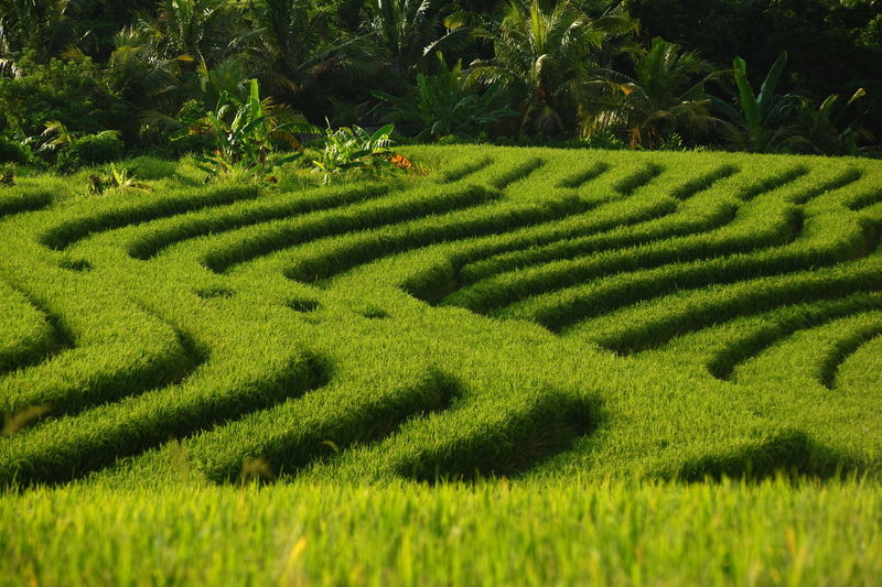 """dz72"" Indonesian Ballinese Landscape_Collection Cultures Tabanan, Bali, Indonesia Rice Field Green Color Nature_collection Rice Terraces Green Green Green!  Tree Field Grass Landscape Plant Green Color Agricultural Field Rice Paddy Terraced Field EyeEmNewHere"