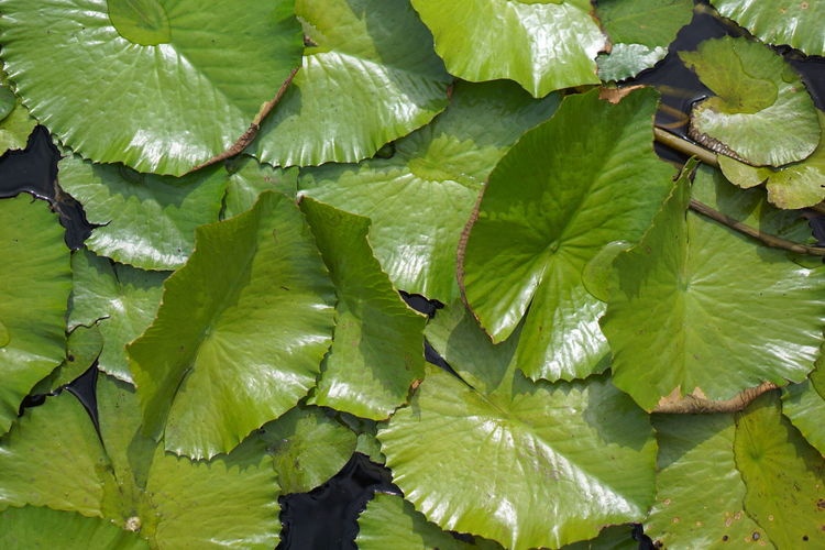 High angle view of water leaves on plant