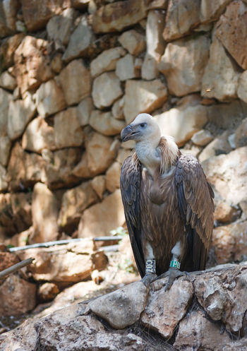 Griffon Vulture - Gyps fulvus - is sitting on a rock and looking out for prey Animal Themes Animals In The Wild Beak Beak Bird Day Feather  Griffon Gyps Fulvus Looking Nature No People One Animal Outdoors Predator Prey Animal Rock Rock - Object Scavenger Sitting Vulture Wild Wildlife Wing Zoology