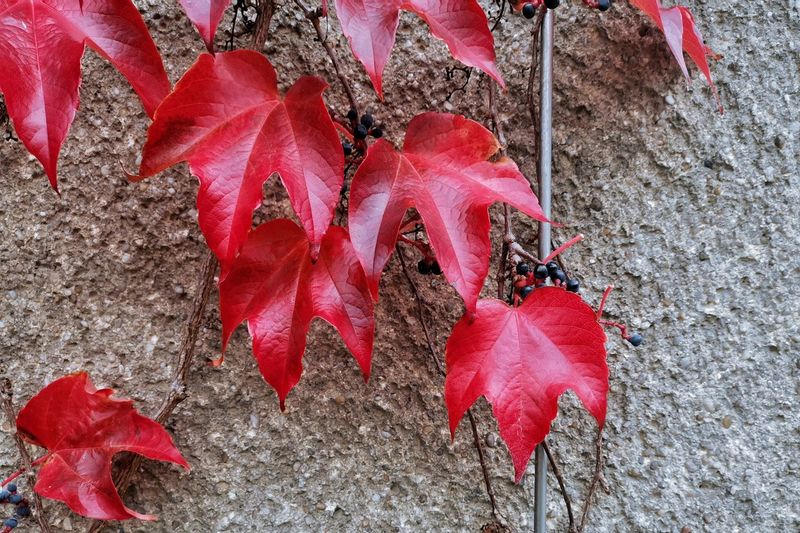Leaf Red Autumn
