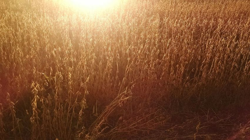 Fall Beauty morning sunrise against the golden soybeans. Eyeem Michigan EyeEm Nature Lover Fall_collection My Running View Motox