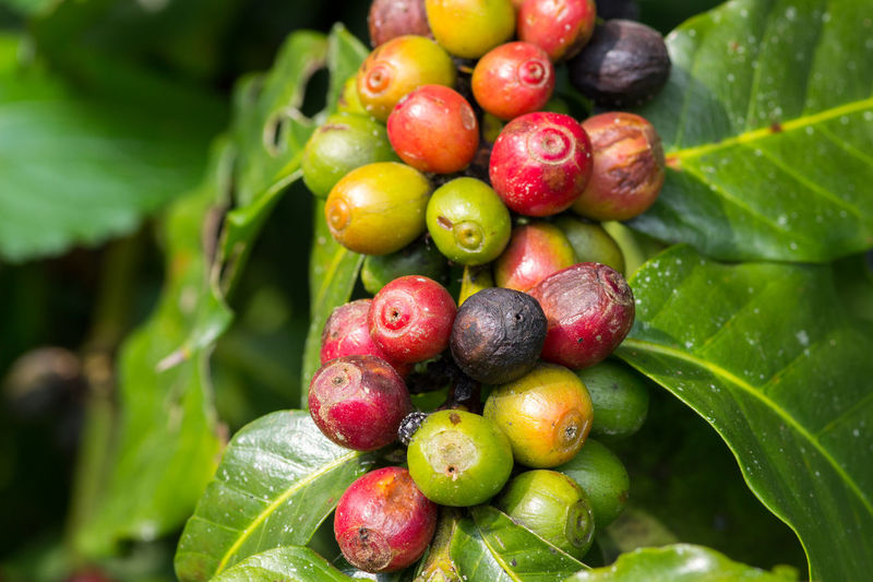 Close up of coffee bean in farm and plantations in Thailand. Berry Fruit Close-up Day Focus On Foreground Food Food And Drink Freshness Fruit Green Color Growth Healthy Eating Leaf Nature No People Outdoors Plant Plant Part Red Ripe Tree Wellbeing
