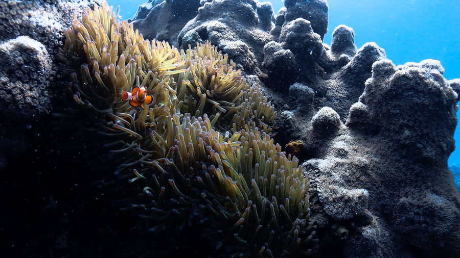 Nemo clownfish at pagkilatan