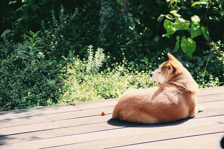 ひなたぼっこ あんず しばいぬ Shibainu Anzu Plant Animal Themes One Animal Animal Mammal Vertebrate Day